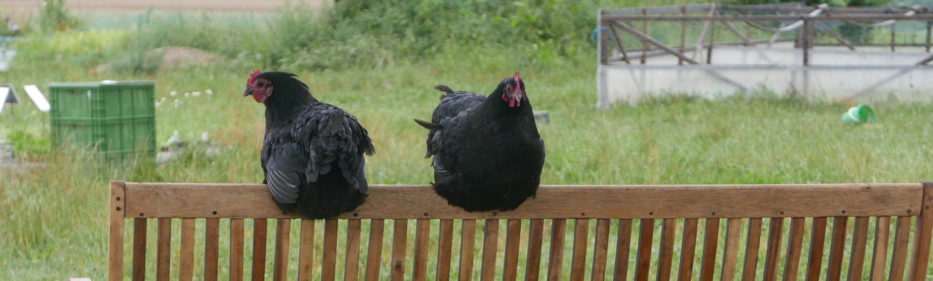 Hühner auf der Bank